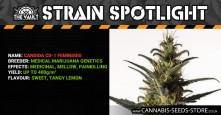 Strain Spotlight: Candida CD1 Feminised by Medical Marijuana Genetics