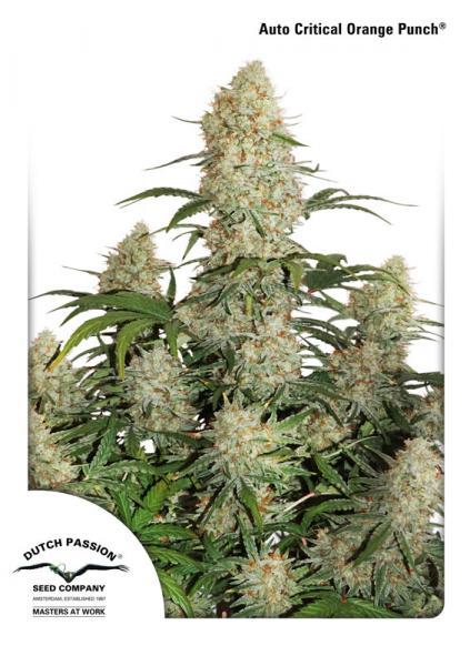 Cannabis Orange Auto Seed