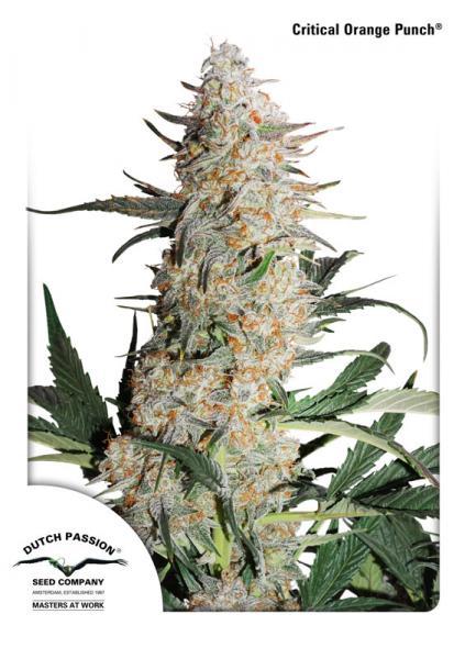 Critical Orange Punch Cannabis Seed