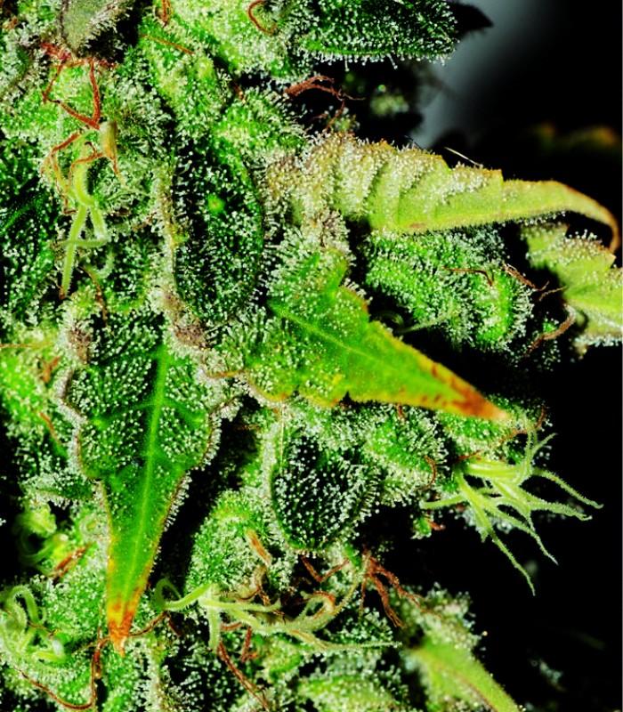 Nemesis Cannabis Seeds