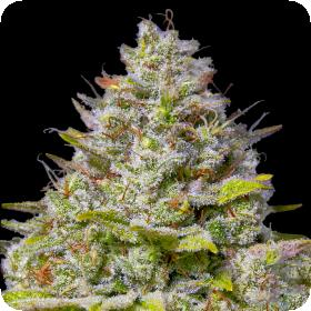 Blue Gelato 41 Feminised Seeds
