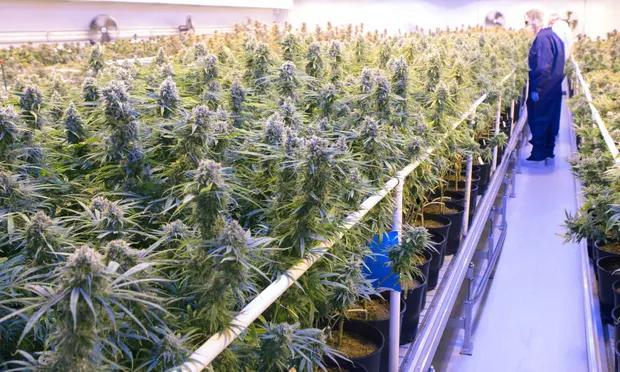 Medical cannabis trial