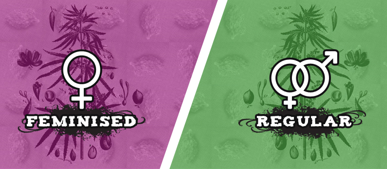 The difference between feminised and auto flowering cannabis seeds