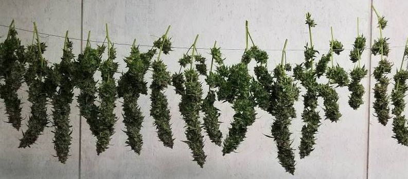 Cannabis plants curing