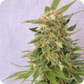 Ginger Punch Auto - Get Kannabia Seeds for FREE at The Vault