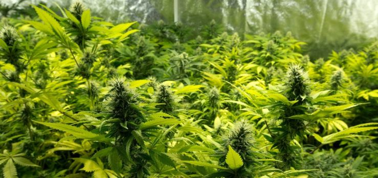 Cannabis Seed Banks