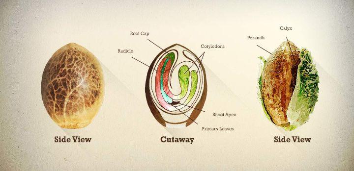 Germinating Cannabis Seeds