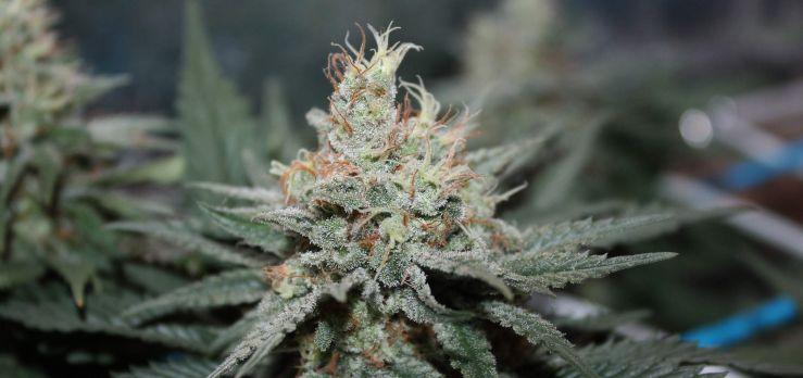 Best cannabis strains for beginner growers