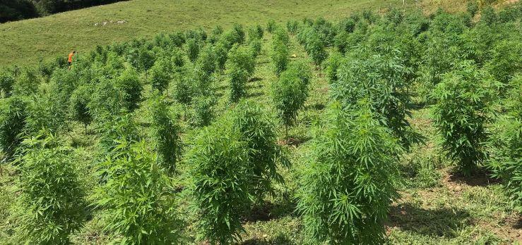 Hemp or Marijuana