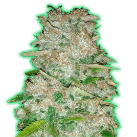 Monster Gorilla Glue Feminised Seeds