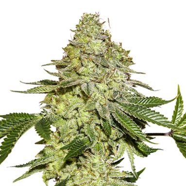 Sherbet Feminised Seeds 5 Seed Stockers