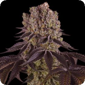 PURPLE-PUNCH