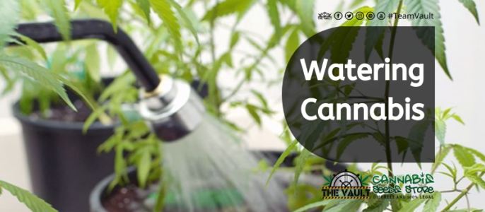 How And When To Water Your Cannabis Plants