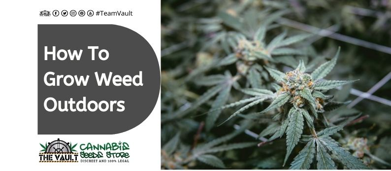 The Vault Cannabis Seed Store10