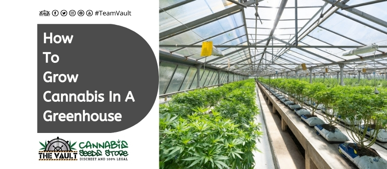 How To Grow Cannabis In a Greenhouse