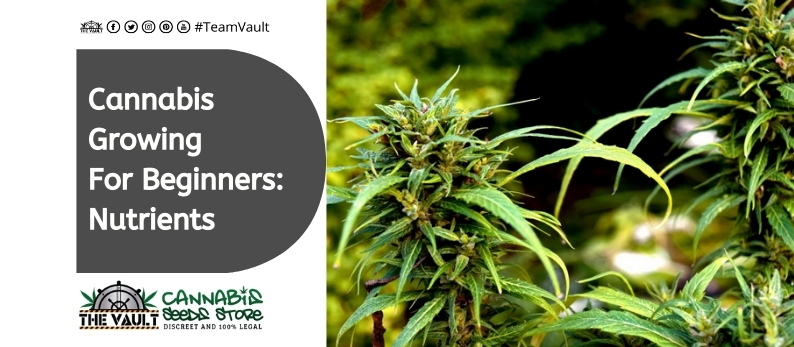 Cannabis Growing For Beginners