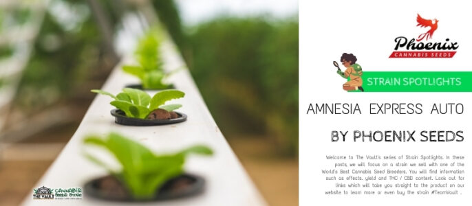 Strain Spotlight – Amnesia Express Auto Feminised