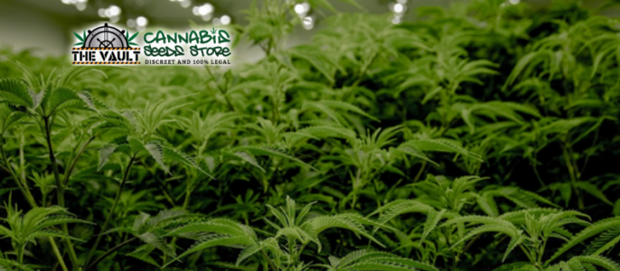 Best Strains for Commercial Growers