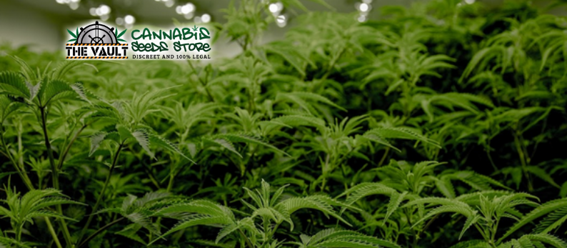 Commercial Cannabis Strains