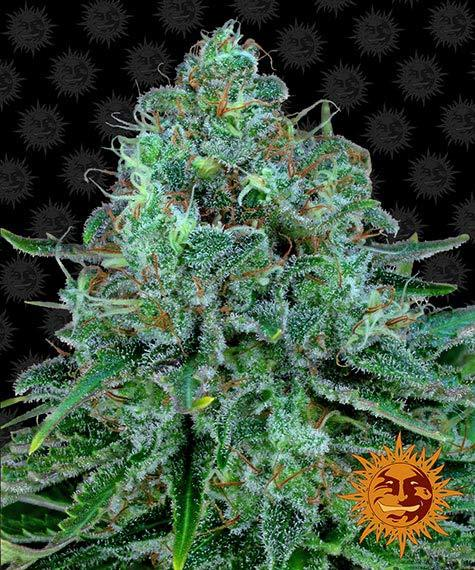 Barneysfarm_vault_critical-kush_circle_new_12_873519