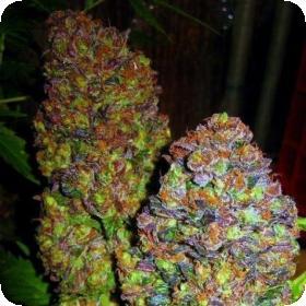 blueberry_feminised_seeds_phoenix_seeds_0