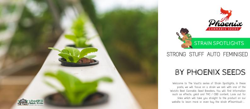 The Vault Cannabis Seed Store Straing Spotlight Phoenix Seedsq