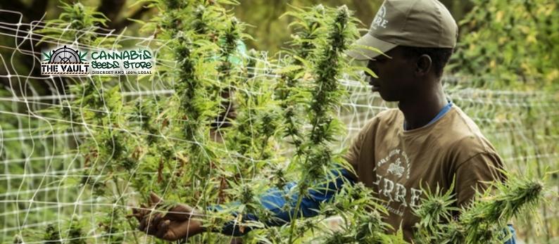 Training-Cannabis-Plants