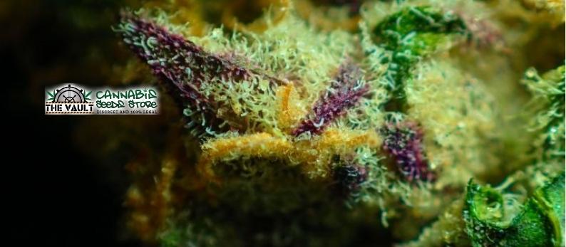 Best-Zkittlez-Cannabis-Strains