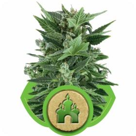 royal kush automatic feminised seeds royal queen seeds 0