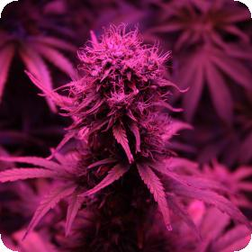 blueberry auto feminised seeds