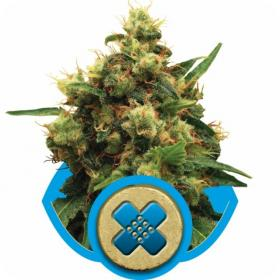 painkiller xl feminised seeds royal queen seeds 0