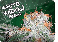 White Widow Cannabis Seeds