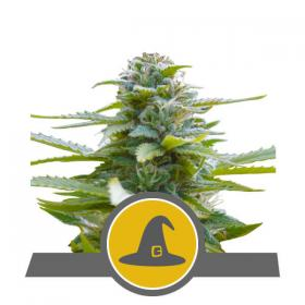 Exotic Witch Regular Seeds