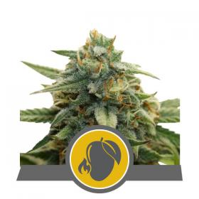 Mango Crunch Regular Seeds