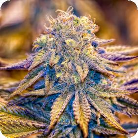 Purple Wreck - 10 Regular Seeds