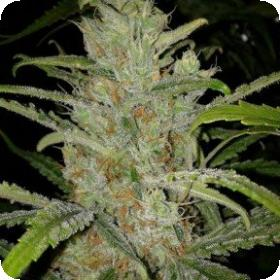 White Grapefruit Feminised Seeds