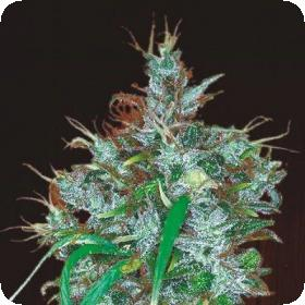 Panama Haze Feminised Seeds