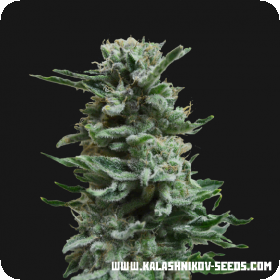 AK Skunk AUTO Feminised Seeds