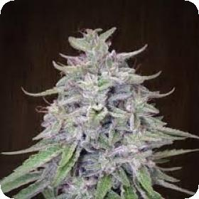 Bangi Haze Feminised Seeds