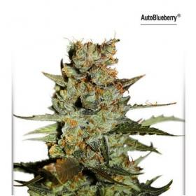 Auto Blueberry Feminised Seeds