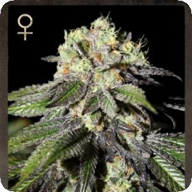 Caboose Feminised Seeds