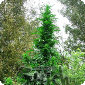 Doctor  Shiva  Super Auto  Feminised  Cannabis  Seeds  Jpg