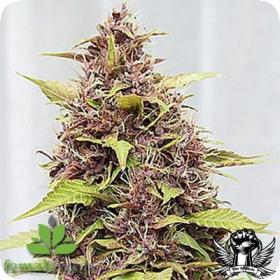 Purple Power Feminised Seeds