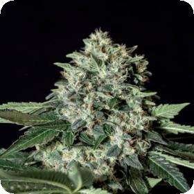 Gorila Bilbo Feminised Seeds