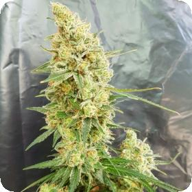 Gorilla Banana Feminised Seeds
