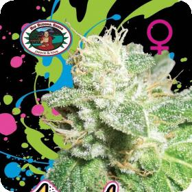 Head Cheese Feminised Seeds