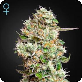 King's Kush CBD Auto Feminised Seeds