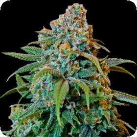 Liberty Haze Feminised Seeds