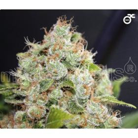 Collection 1  Feminised Seeds