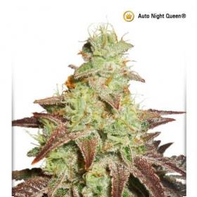 Night  Queen  Auto  Feminised  Cannabis  Seeds  Jpg